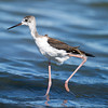 Black-winged Stilt (Himantopus himantopus) at Nukus Airport Lake, Nukus, Uzbekistan