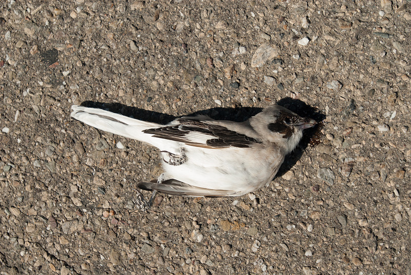 ROADKILL:  Lesser Grey Shrike, Between Uchquduq and Nukus