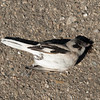 ROADKILL:  Lesser Grey Shrike, Between Uchquduq and Nukus