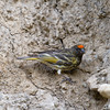 Fire-fronted Serin (Serinus pusillus) at Zaamin National Park, Uzbekistan
