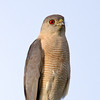 Documentation Shot: Shikra (Accipiter badius) at Dalverzin, Uzbekistan