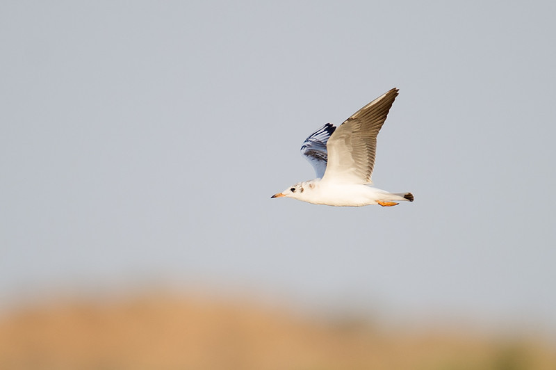 Black Headed Gull (Chroicocephalus ridibundus) at Aydar Lake, Nuratau, Uzbekistan