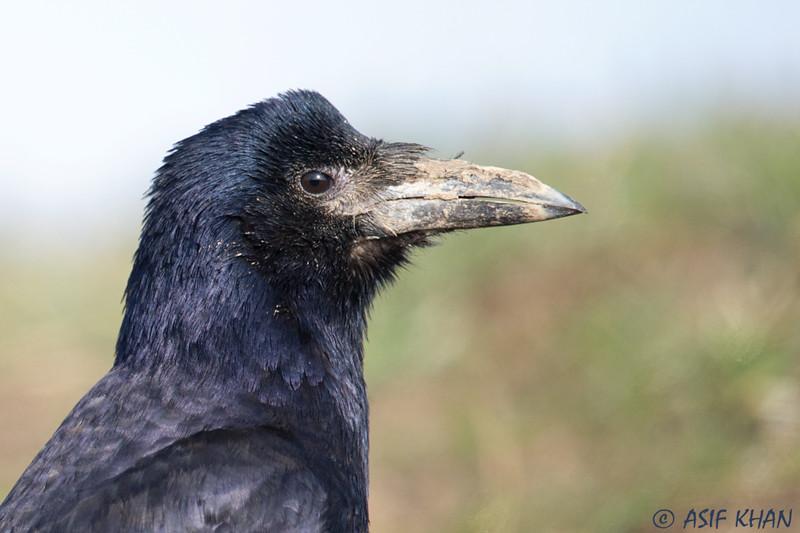 Rook / грач (Corvus frugilegus) at Dostlik