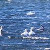 Mute Swan (Cygnus olor) at Aydar Kul