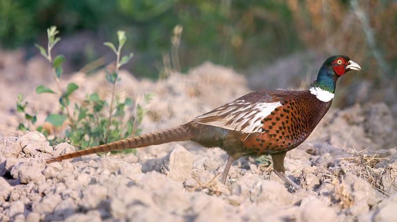 Common Pheasant (Phasianus colchicus) at Dalverzin, Uzbekistan