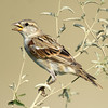Indian Sparrow (passer domesticus indicus) at Kurgantepa, Uzbekistan