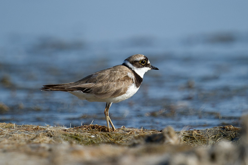 Little Ringed Plover (Charadrius dubius) at Aydar Lake, Nuratau, Uzbekistan