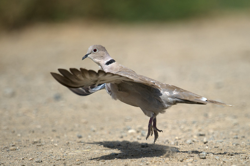 Eurasian Collared Dove (Streptopelia decaocto) at Kurgantepa, Uzbekistan