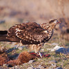 Black-Eared Kite / Черный коршун (Milvus migrans lineatus) on roadkill at outskirts of Jizzakh