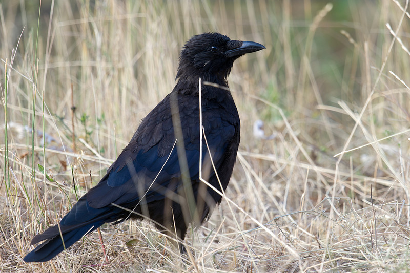 Carrion Crow (Corvus corone) at Zaamin National Park, Uzbekistan