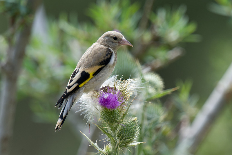 Juvenile Grey-capped Goldfinch (Carduelis caniceps) at Zaamin National Park, Uzbekistan