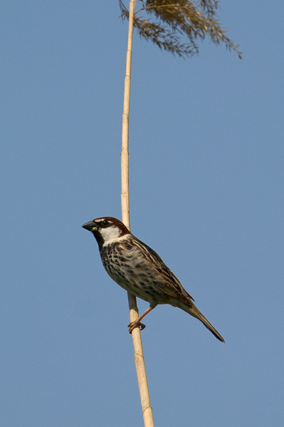 Documentation Shot: Spanish Sparrow (Passer hispaniolensis) at Dostlik, Uzbekistan