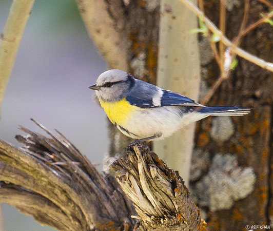Yellow-breasted Tit / Желтогрудая лазоревка (Parus flavipectus) at Yangiabad [3rd May 2015]
