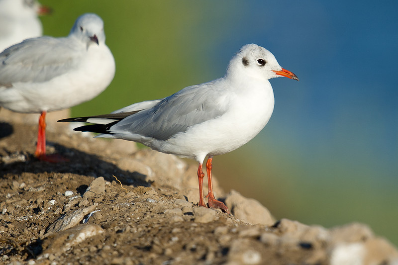 Black Headed Gull (Chroicocephalus ridibundus) at Khorezm Fish Farm, Khorezm, Uzbekistan