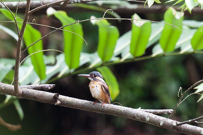 Common Kingfisher (Alcedo atthis bengalensis) [SE Asian subspecies], Sungei Buloh Wetlands, Singapore