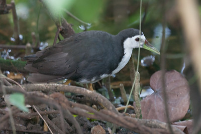 Whte-breasted Waterhen (Amaurornis phoenicurus), Sungei Buloh Wetlands, Singapore