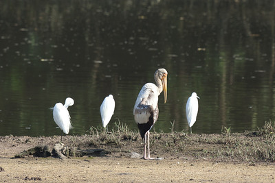Little Egrets (Egretta garzetta), Milky stork (Mycteria cinera), Sungei Buloh Wetlands, Singapore