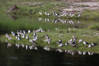 Greenshanks (Tringa nebularis), Sungei Buloh Wetlands, Singapore