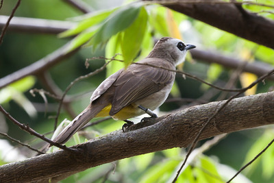 Yellow-vented Bulbul (Pycnonotus goiavier), Sungei Buloh Wetlands, Singapore