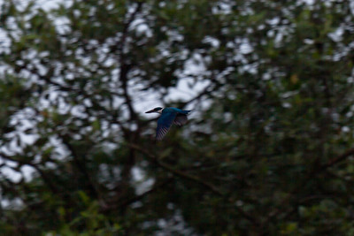 Collared Kingfisher (Todiramphus chloris), Sungei Buloh Wetlands, Singapore