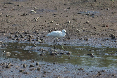 Little Egret (Egretta garzetta), Sungei Buloh Wetlands, Singapore