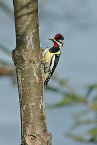 Sapsucker - Yellow-bellied - male - Dunning Lake, MN - 01