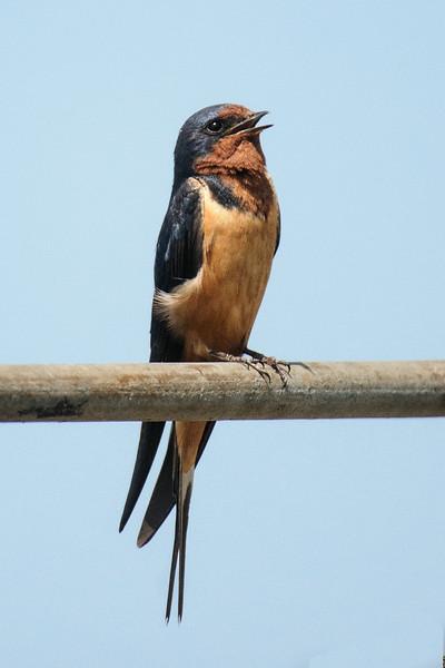 Swallow - Barn - Cornucopia, WI