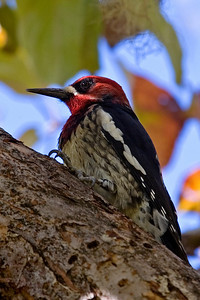 Sapsucker - Red-breasted - South Slough, OR