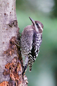 Sapsucker - Yellow-bellied - juvenile - Dunning Lake, MN