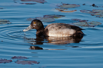 Scaup - Greater - St. Marks NWR, FL - 02