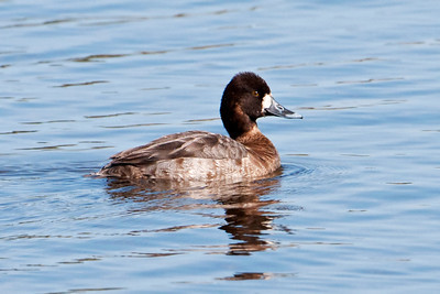 Scaup - Lesser - female - St. Marks NWR, FL - 02