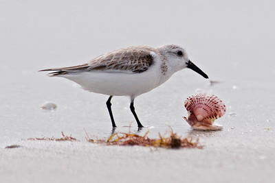 Sanderling - Sanibel Island, FL