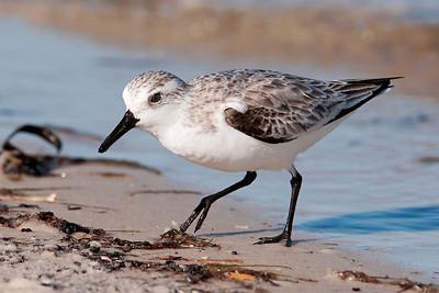 Sanderling - St. George Island State Park, FL - 08