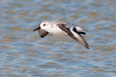 Sanderling - St. George Island State Park, FL - 04
