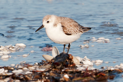 Sanderling - Lighthouse Point - Sanibel Island, FL - 01