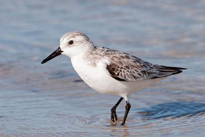 Sanderling - St. George Island State Park, FL - 06
