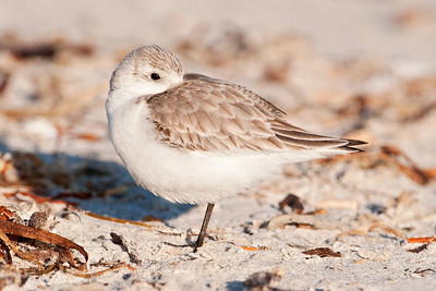 Sanderling - Lighthouse Point - Sanibel Island, FL - 02