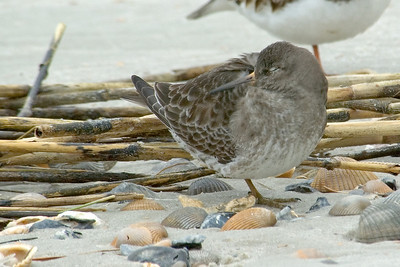 Sandpiper - Purple - Fort Clinch State Park - FL