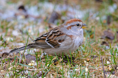 Sparrow - American Tree - Dunning Lake, MN - 01
