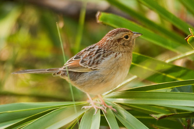 Sparrow - Bachman's - Brickyard Road - Apalachicola National Forest - FL-03