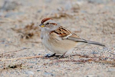 Sparrow - American Tree - White Oak Lake - Deer River, MN