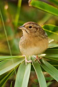 Sparrow - Bachman's - Brickyard Road - Apalachicola National Forest - FL-04
