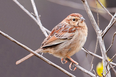 Sparrow - Bachman's - Apalachicola National Forest - FL