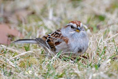Sparrow - American Tree - Dunning Lake, MN - 04