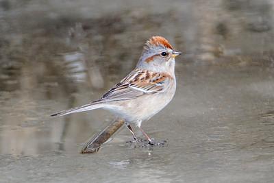 Sparrow - American Tree - Deer River, MN