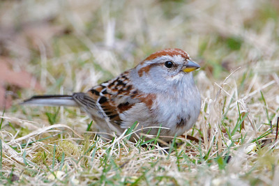 Sparrow - American Tree - Dunning Lake, MN - 02