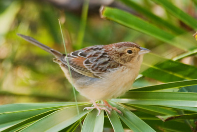 Sparrow - Bachman's - Brickyard Road - Apalachicola National Forest - FL-02