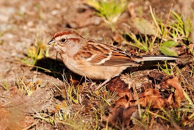 Sparrow - American Tree - Ball Club Lake - Itasca County, MN