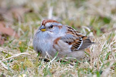 Sparrow - American Tree - Dunning Lake, MN - 03