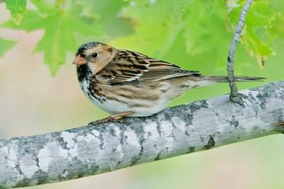Sparrow - Harris's - Big Stone NWR - MN - 01